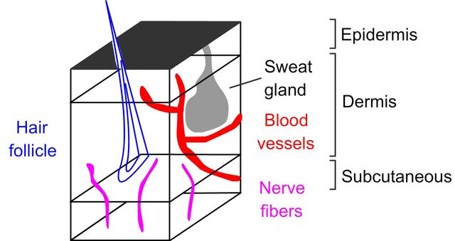 Epidermis, dermis, and subcutaneous layers of skin
