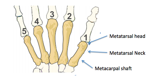 Metacarpal and metatarsal drawing